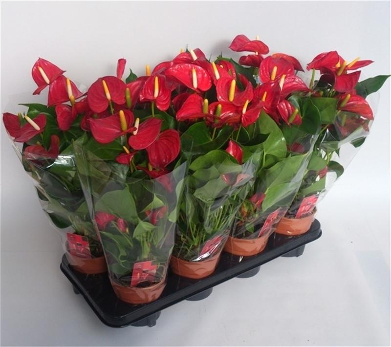 Цветок Антуриум или Мужское счастье - уход и размножение в домашних условиях