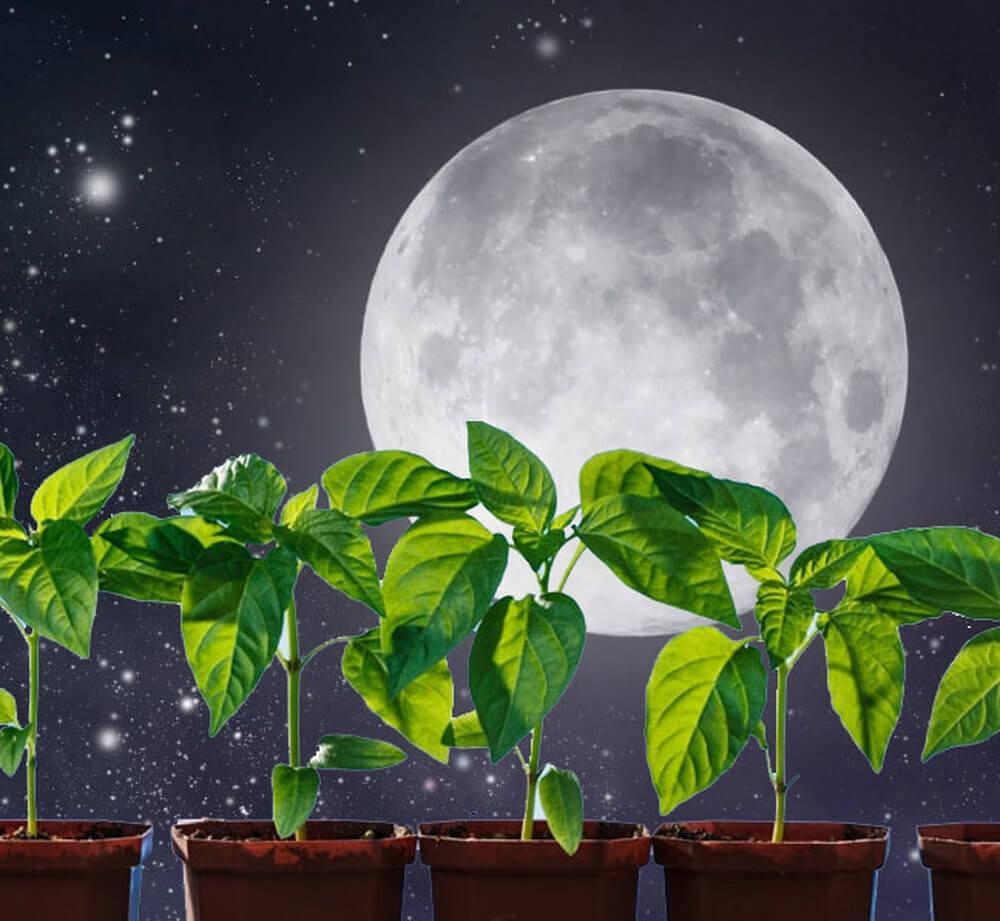 Когда сажать перец на рассаду в средней полосе России по лунному календарю в 2021 году