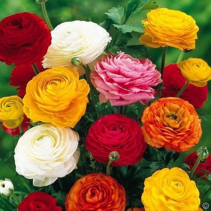 Все о ранункулюсе (садовом лютике): посадка и уход за цветком в открытом грунте