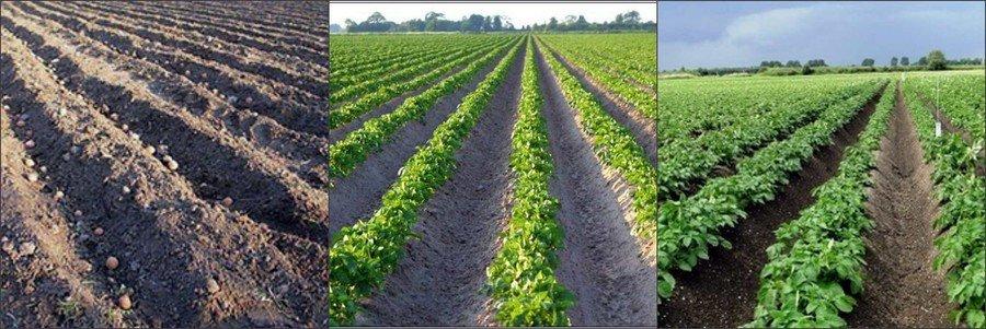 Посадка картофеля весной в открытый грунт в 2021 году