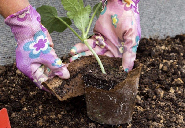 Когда сажать арбузы на рассаду в 2021 - посадка и уход