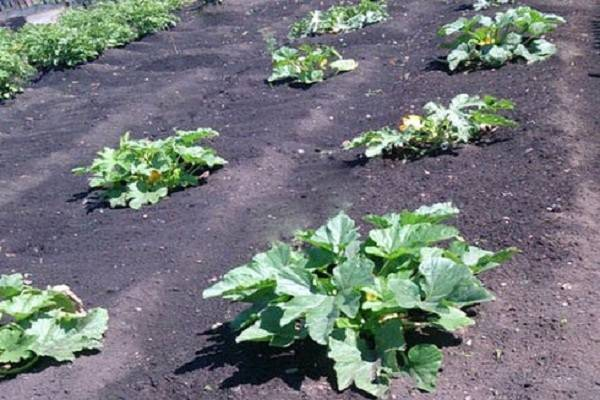 Когда сажать кабачки на рассаду в 2021 году (рассада кабачков)