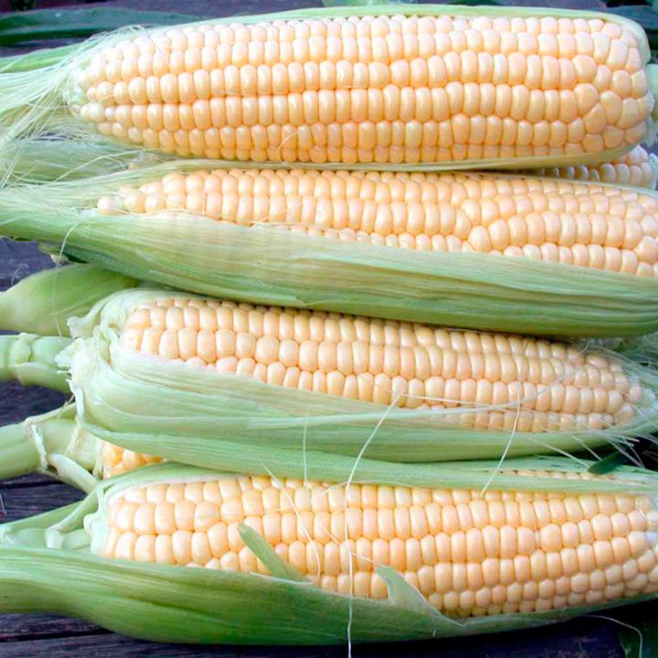 Когда сажать кукурузу на рассаду в 2021 году: выращивание и уход