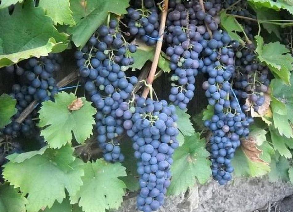 Виноград «маркетт»: описание сорта, фото и отзывы о нем