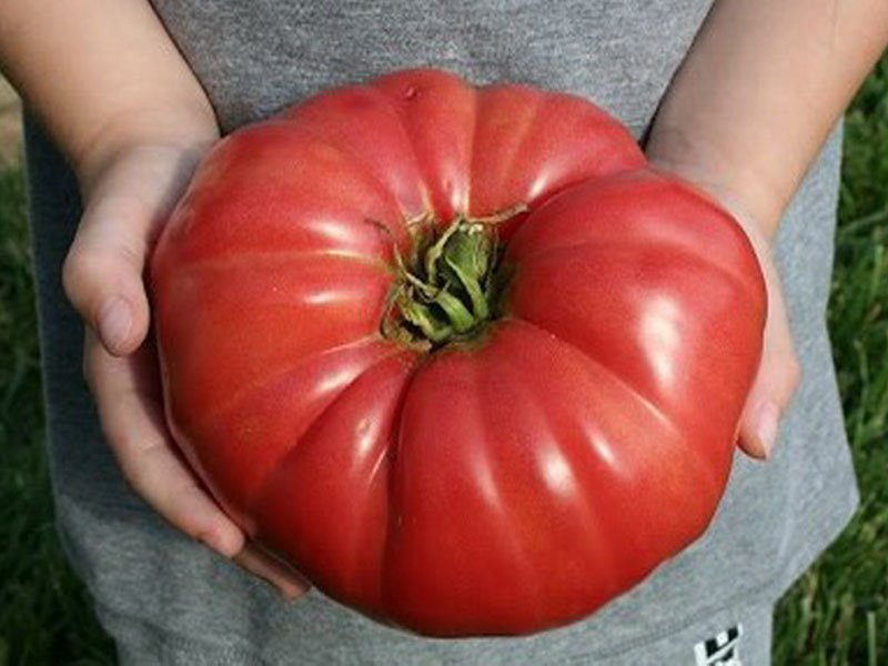 Почему желтеют листья помидор, что делать, самые частые причины