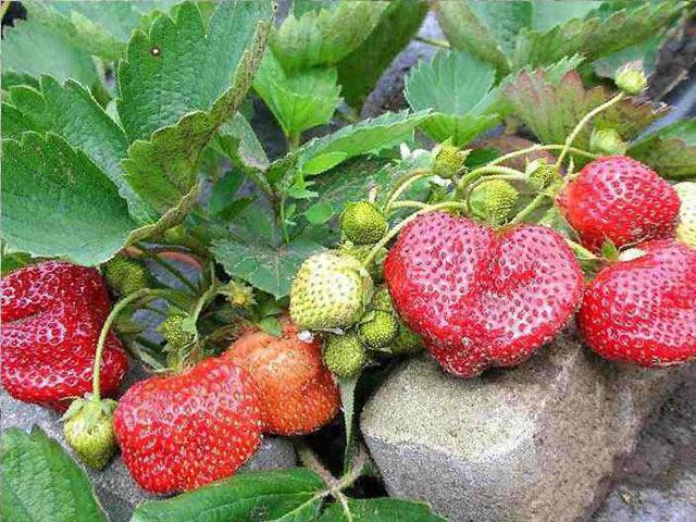 Клубника на подоконнике – выращивание круглый год