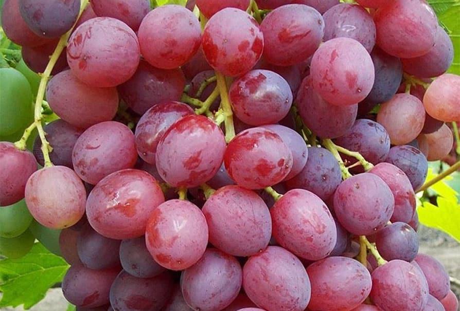 Виноград Велес: описание сорта с характеристикой и отзывами, особенности посадки и выращивания, фото
