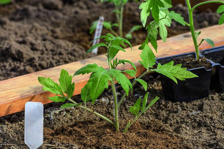 Посадка помидор в июне 2021, благоприятные дни, в открытый грунт