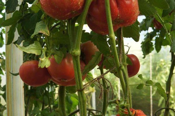 Томаты для северных районов: описание лучших и урожайных сортов с фото